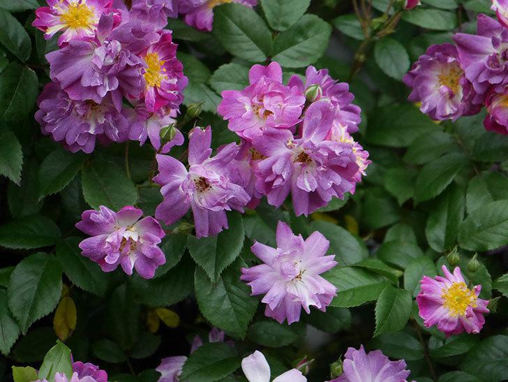 ブルーランブラー(ツルバラ)の花がたくさん咲いた。2020年-035.jpg