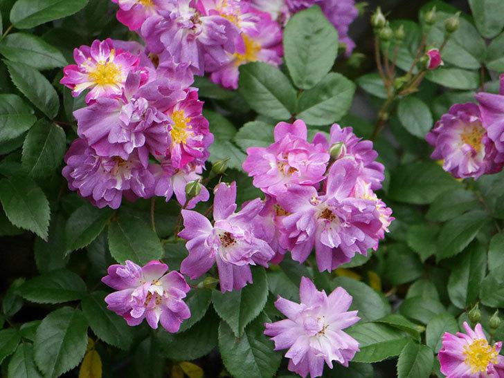 ブルーランブラー(ツルバラ)の花がたくさん咲いた。2020年-036.jpg