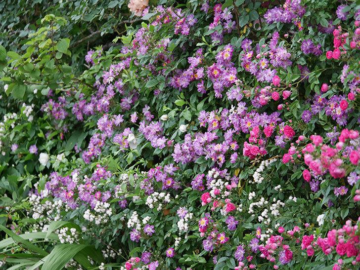 ブルーランブラー(ツルバラ)の花がたくさん咲いた。2020年-037.jpg