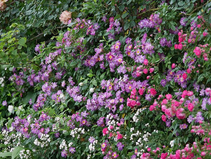 ブルーランブラー(ツルバラ)の花がたくさん咲いた。2020年-038.jpg