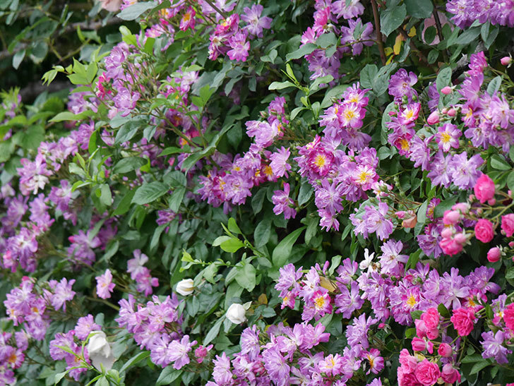 ブルーランブラー(ツルバラ)の花がたくさん咲いた。2020年-039.jpg