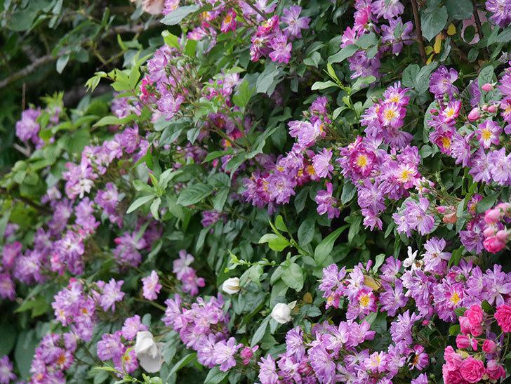 ブルーランブラー(ツルバラ)の花がたくさん咲いた。2020年-040.jpg