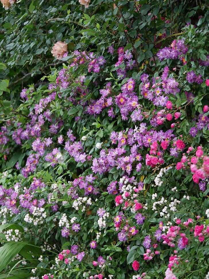 ブルーランブラー(ツルバラ)の花がたくさん咲いた。2020年-041.jpg