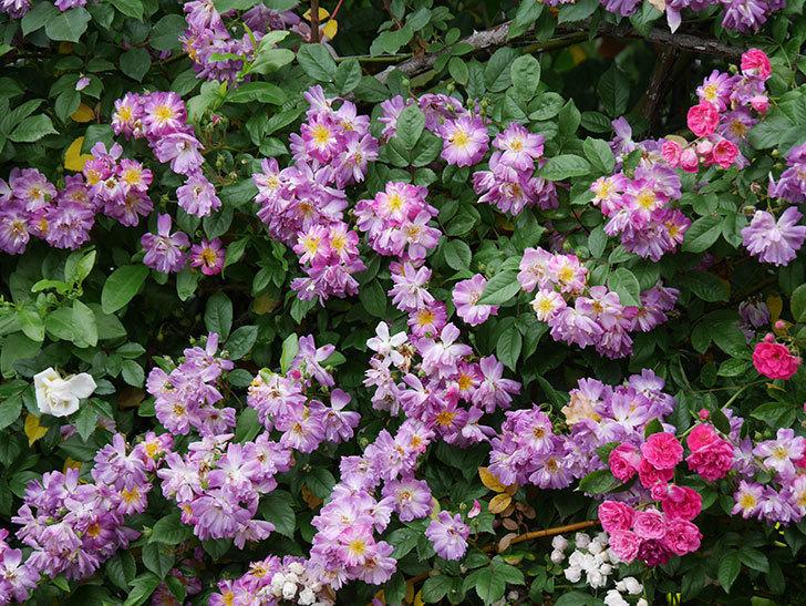 ブルーランブラー(ツルバラ)の花がたくさん咲いた。2020年-042.jpg