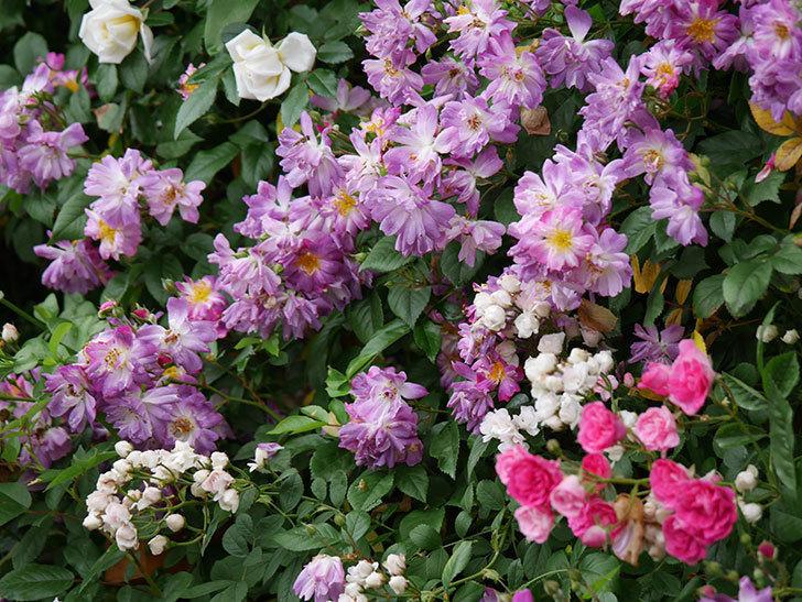 ブルーランブラー(ツルバラ)の花がたくさん咲いた。2020年-043.jpg