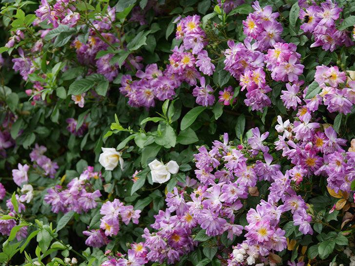 ブルーランブラー(ツルバラ)の花がたくさん咲いた。2020年-044.jpg