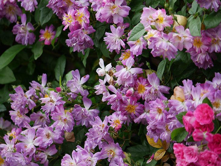 ブルーランブラー(ツルバラ)の花がたくさん咲いた。2020年-045.jpg