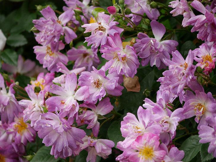ブルーランブラー(ツルバラ)の花がたくさん咲いた。2020年-046.jpg
