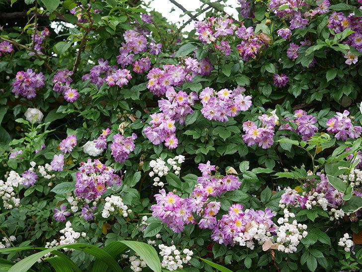 ブルーランブラー(ツルバラ)の花がたくさん咲いた。2020年-047.jpg