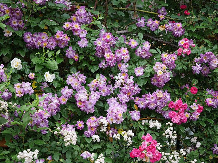 ブルーランブラー(ツルバラ)の花がたくさん咲いた。2020年-048.jpg