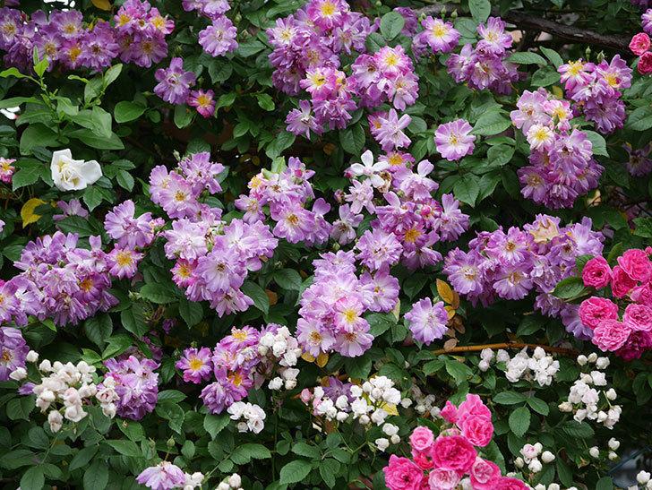 ブルーランブラー(ツルバラ)の花がたくさん咲いた。2020年-049.jpg