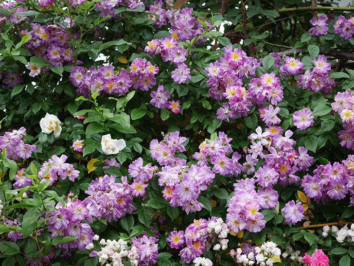 ブルーランブラー(ツルバラ)の花がたくさん咲いた。2020年-050.jpg