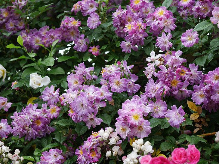 ブルーランブラー(ツルバラ)の花がたくさん咲いた。2020年-051.jpg