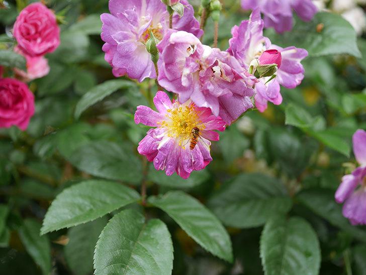 ブルーランブラー(ツルバラ)の花がたくさん咲いた。2020年-052.jpg