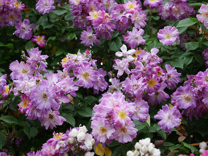 ブルーランブラー(ツルバラ)の花がたくさん咲いた。2020年-053.jpg