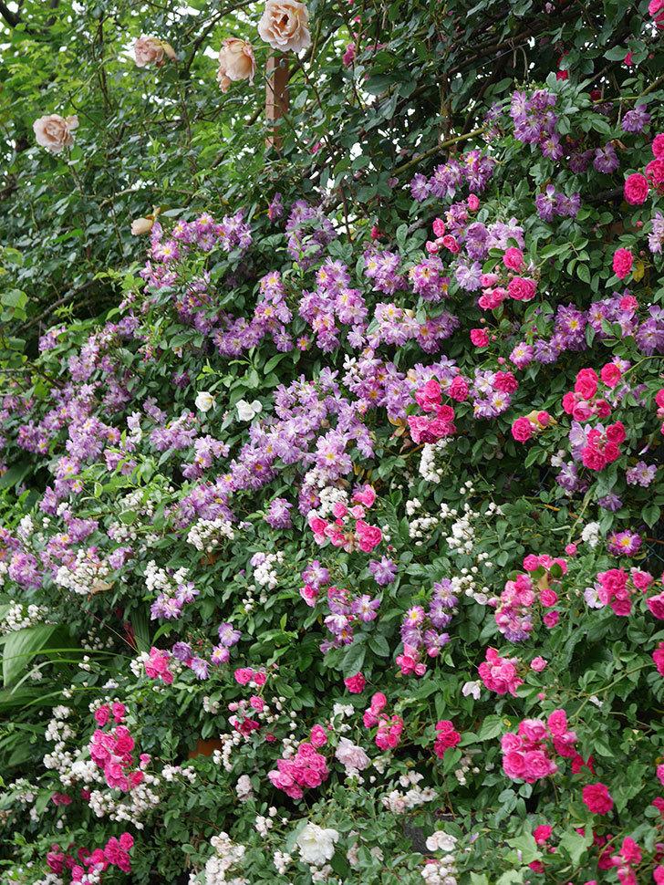 ブルーランブラー(ツルバラ)の花がたくさん咲いた。2020年-054.jpg