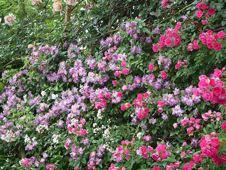 ブルーランブラー(ツルバラ)の花がたくさん咲いた。2020年-055.jpg