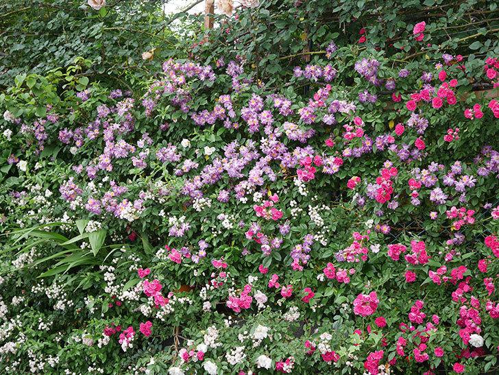 ブルーランブラー(ツルバラ)の花がたくさん咲いた。2020年-056.jpg