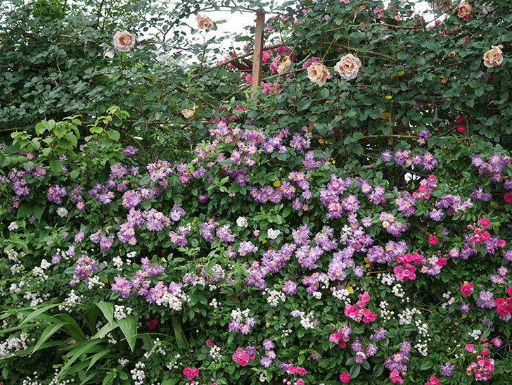 ブルーランブラー(ツルバラ)の花がたくさん咲いた。2020年-057.jpg