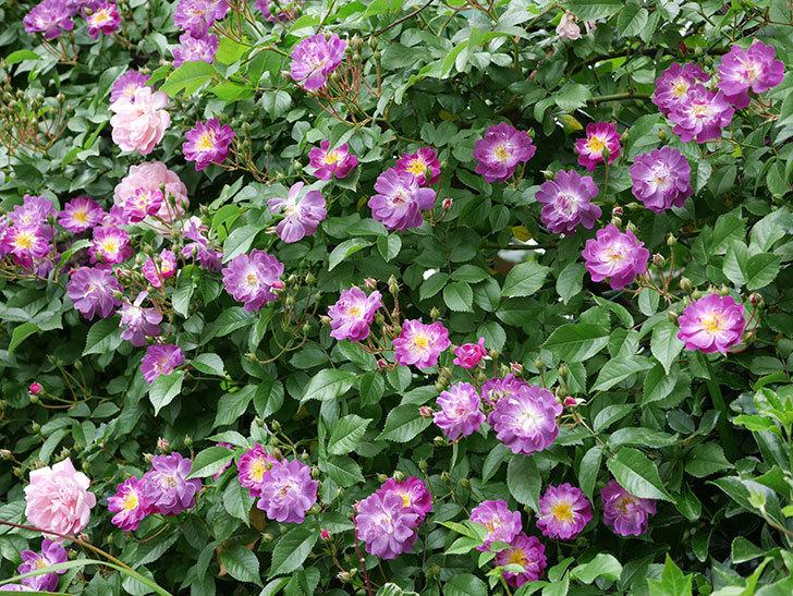 ブルーランブラー(ツルバラ)の花が一斉に咲きだした。2018年-10.jpg