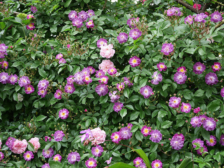 ブルーランブラー(ツルバラ)の花が一斉に咲きだした。2018年-11.jpg