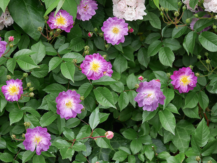 ブルーランブラー(ツルバラ)の花が一斉に咲きだした。2018年-13.jpg