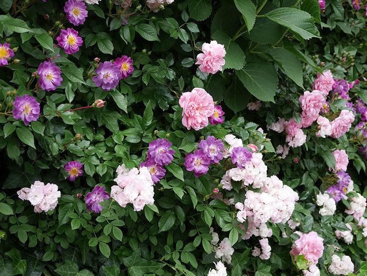 ブルーランブラー(ツルバラ)の花が一斉に咲きだした。2018年-2.jpg