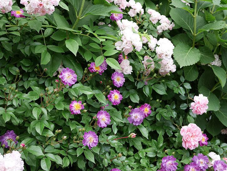 ブルーランブラー(ツルバラ)の花が一斉に咲きだした。2018年-3.jpg