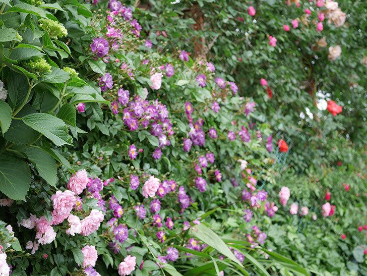 ブルーランブラー(ツルバラ)の花が一斉に咲きだした。2018年-4.jpg