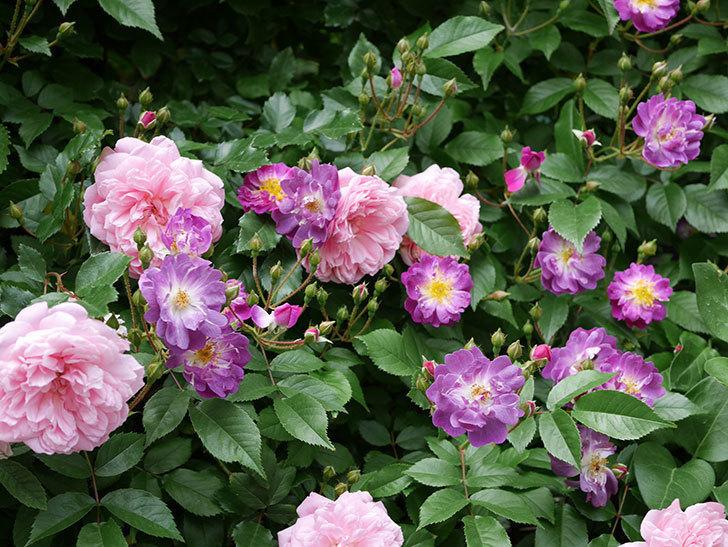 ブルーランブラー(ツルバラ)の花が一斉に咲きだした。2018年-5.jpg