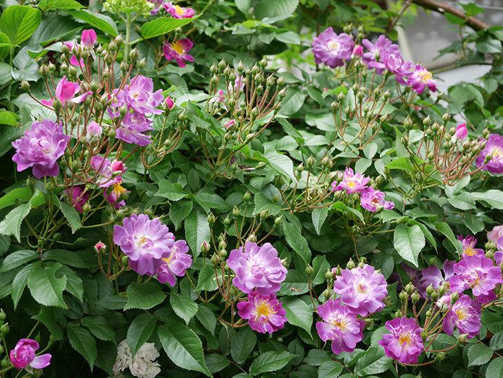 ブルーランブラー(ツルバラ)の花が一斉に咲きだした。2018年-6.jpg