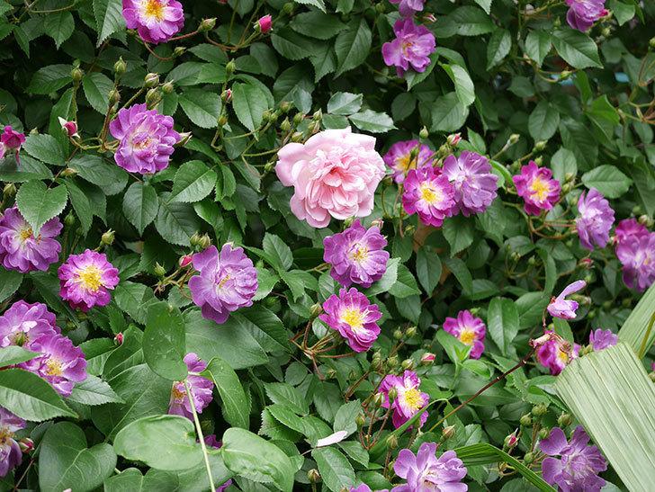 ブルーランブラー(ツルバラ)の花が一斉に咲きだした。2018年-7.jpg