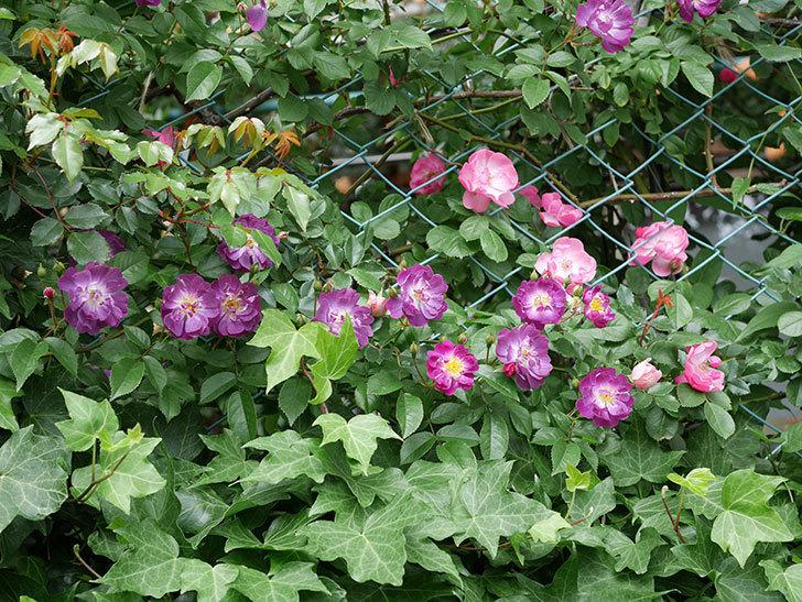 ブルーランブラー(ツルバラ)の花が一斉に咲きだした。2018年-8.jpg