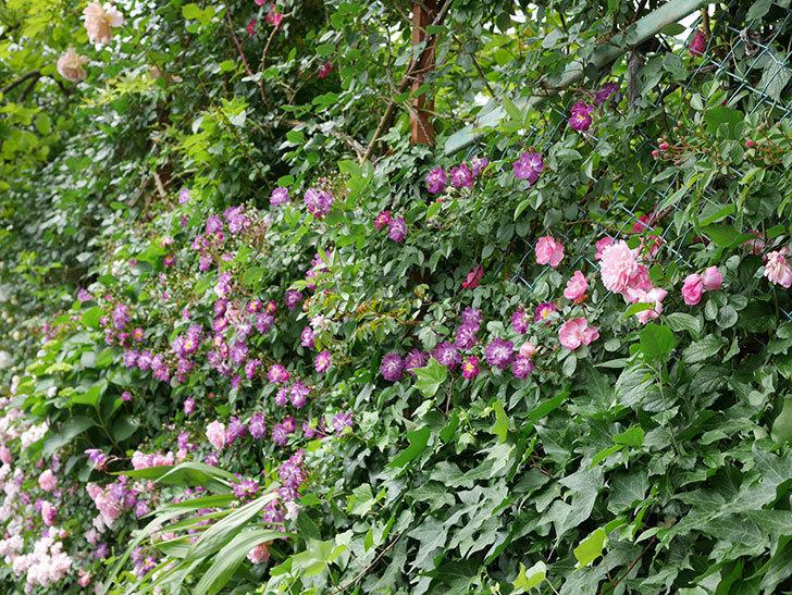 ブルーランブラー(ツルバラ)の花が一斉に咲きだした。2018年-9.jpg