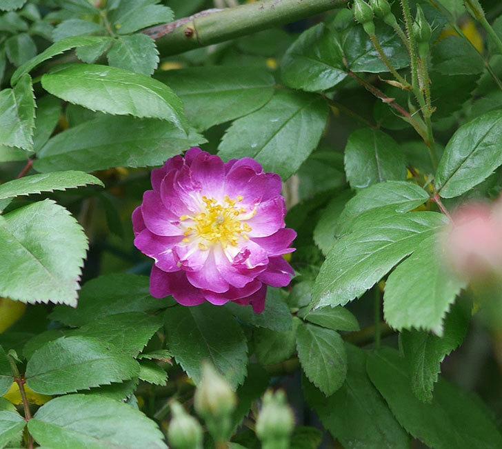 ブルーランブラー(ツルバラ)の花が咲きだした。2020年-1.jpg