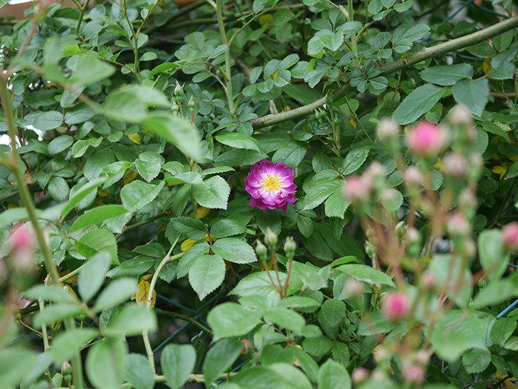 ブルーランブラー(ツルバラ)の花が咲きだした。2020年-3.jpg
