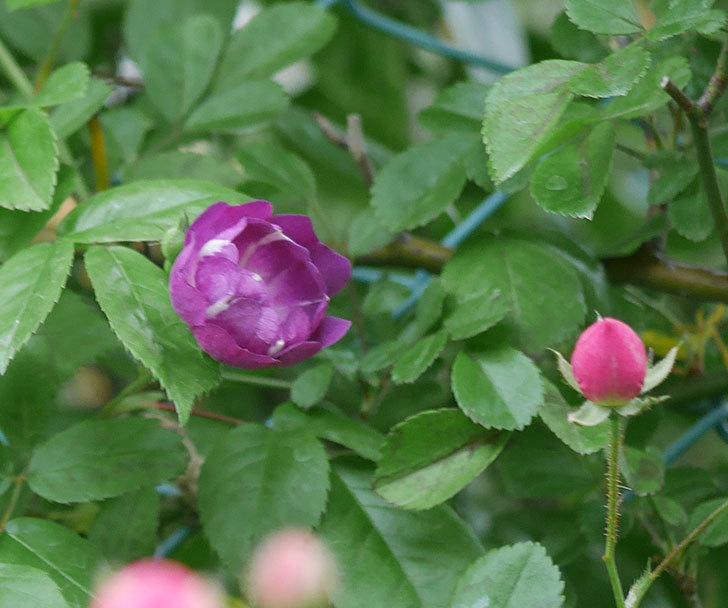 ブルーランブラー(ツルバラ)の花が咲きだした。2020年-4.jpg