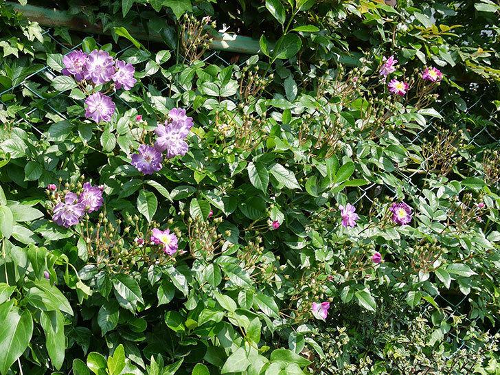 ブルーランブラー(ツルバラ)の花が増えてきた。2017年-2.jpg