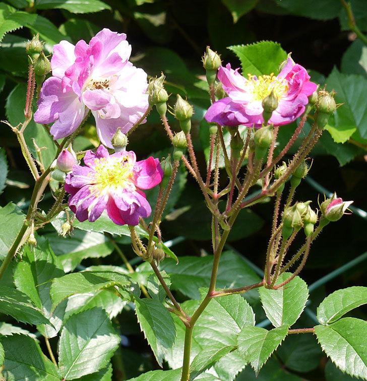ブルーランブラー(ツルバラ)の花が増えてきた。2017年-4.jpg