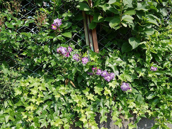 ブルーランブラー(ツルバラ)の花が増えてきた。2017年-5.jpg