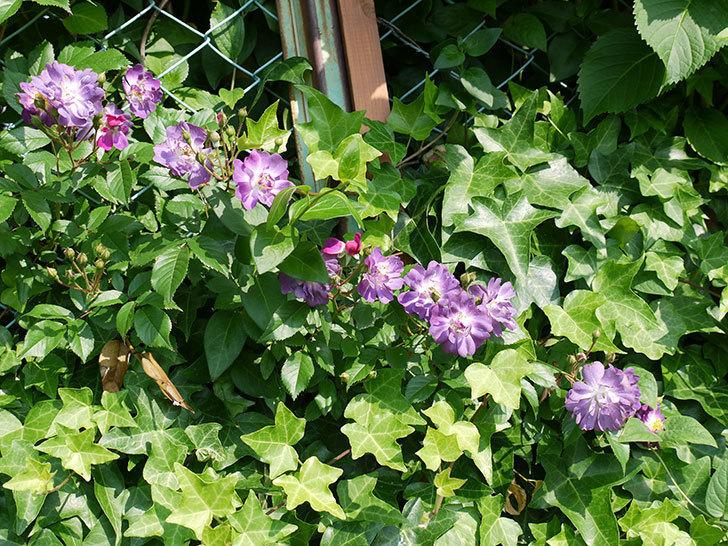 ブルーランブラー(ツルバラ)の花が増えてきた。2017年-6.jpg