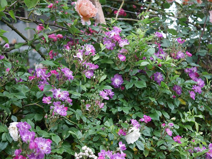 ブルーランブラー(ツルバラ)の花が増えてきた。2020年-001.jpg