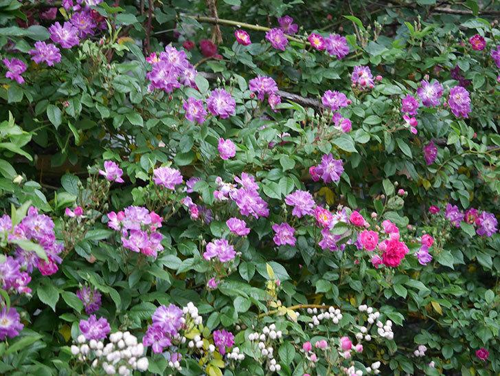 ブルーランブラー(ツルバラ)の花が増えてきた。2020年-002.jpg