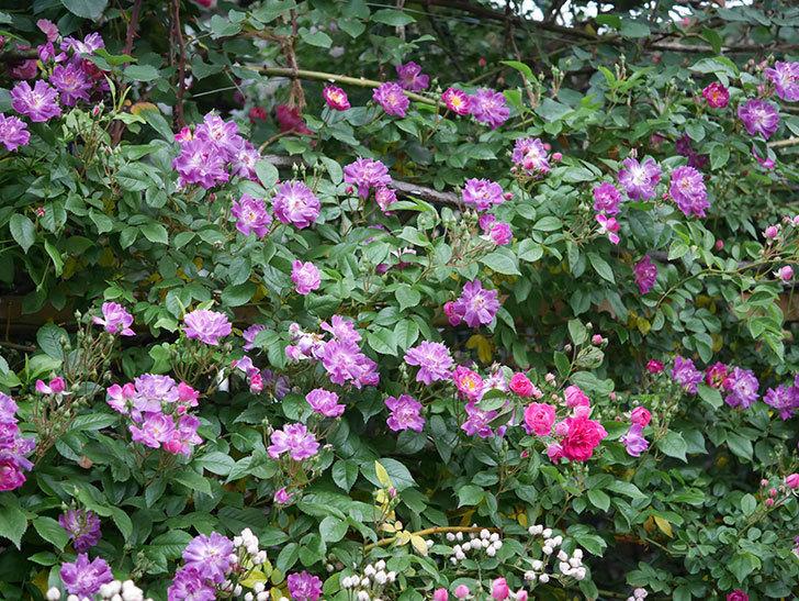 ブルーランブラー(ツルバラ)の花が増えてきた。2020年-003.jpg
