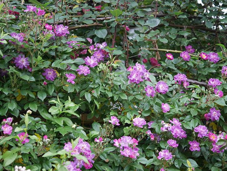 ブルーランブラー(ツルバラ)の花が増えてきた。2020年-004.jpg
