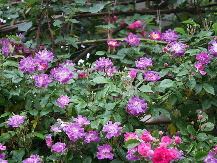 ブルーランブラー(ツルバラ)の花が増えてきた。2020年-005.jpg