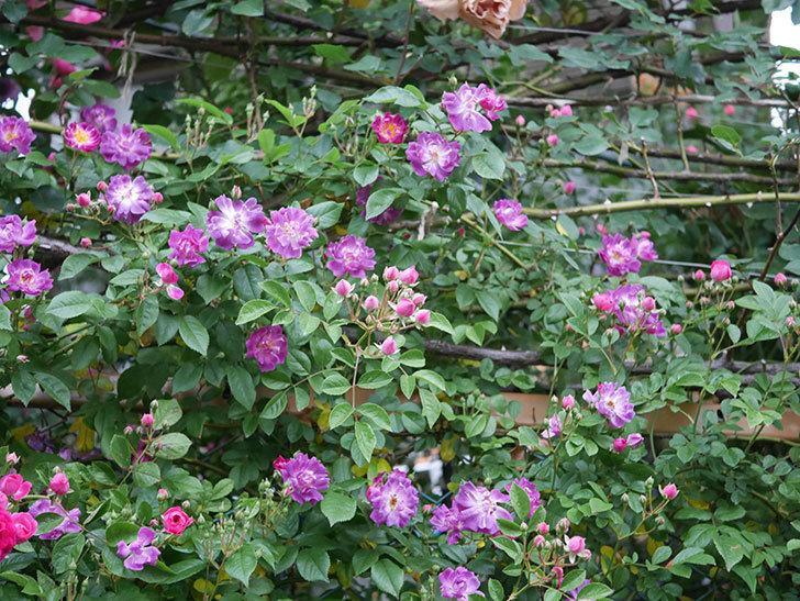 ブルーランブラー(ツルバラ)の花が増えてきた。2020年-006.jpg