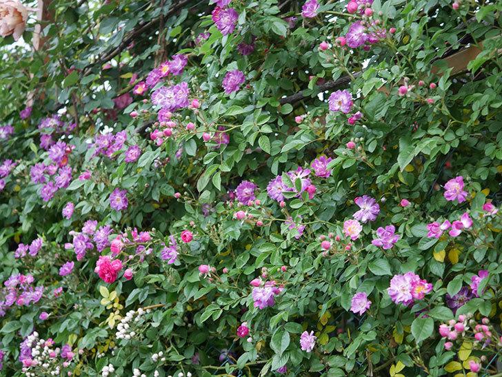 ブルーランブラー(ツルバラ)の花が増えてきた。2020年-007.jpg