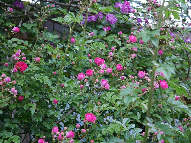 ブルーランブラー(ツルバラ)の花が増えてきた。2020年-008.jpg