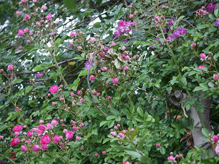 ブルーランブラー(ツルバラ)の花が増えてきた。2020年-009.jpg